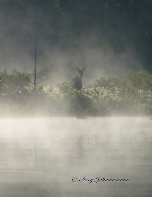 On an early morning trip you may see moose walking out of the mist!