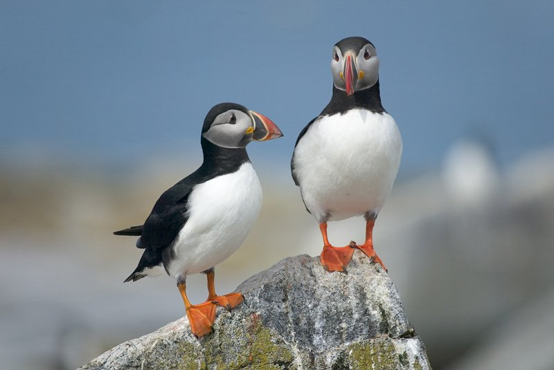 Two puffins on a rock.