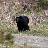 Maine Black Bear