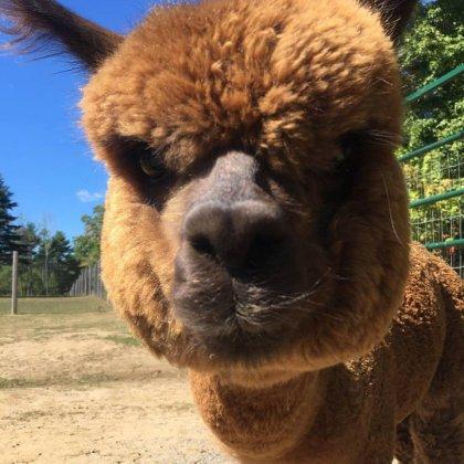 Northern Solstice Alpaca Farm Maine Alpaca Experience Maine S Midcoast Regions