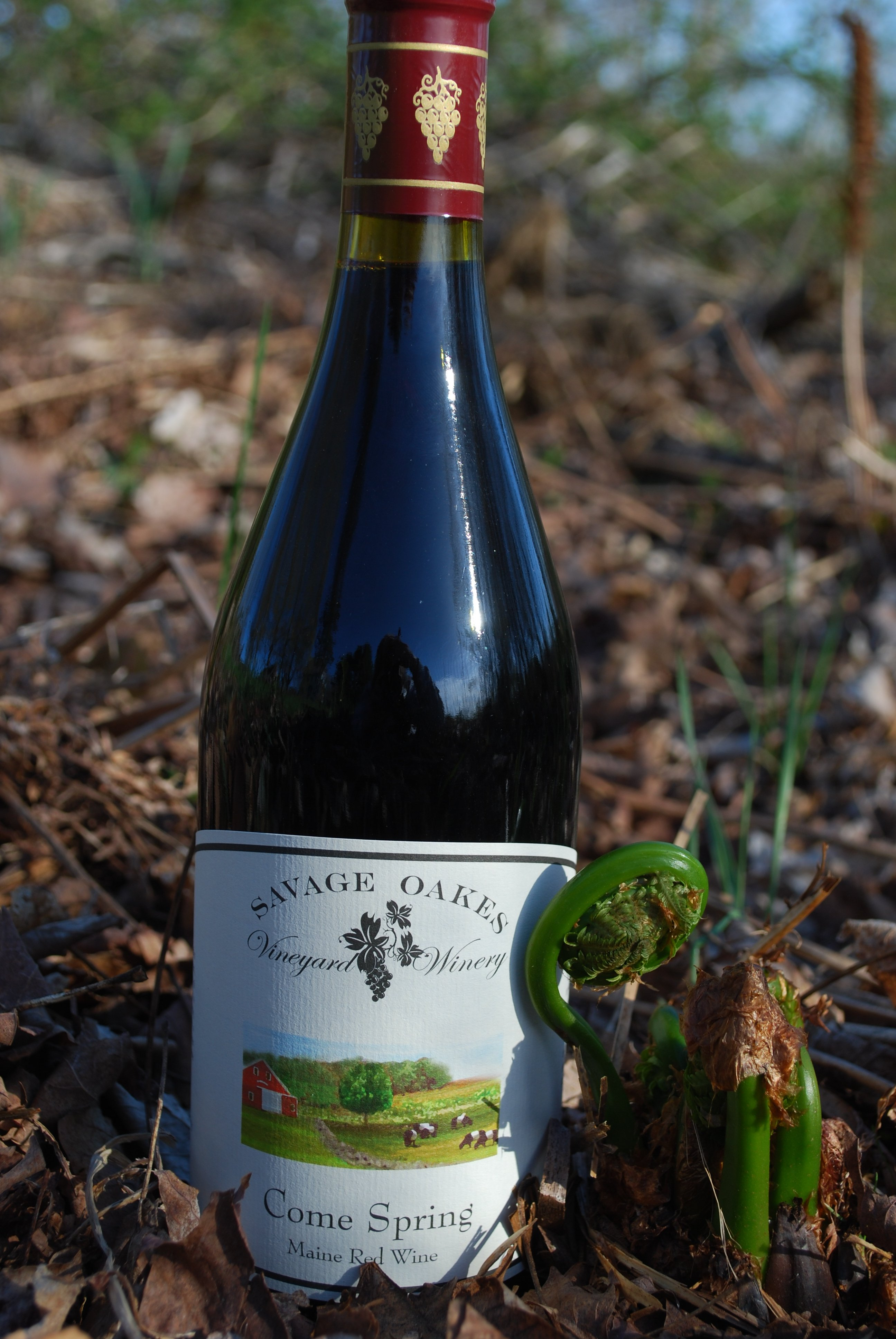Savage Oakes Come Spring light red pictured with fiddleheads; a perfect pairing. Union, Maine