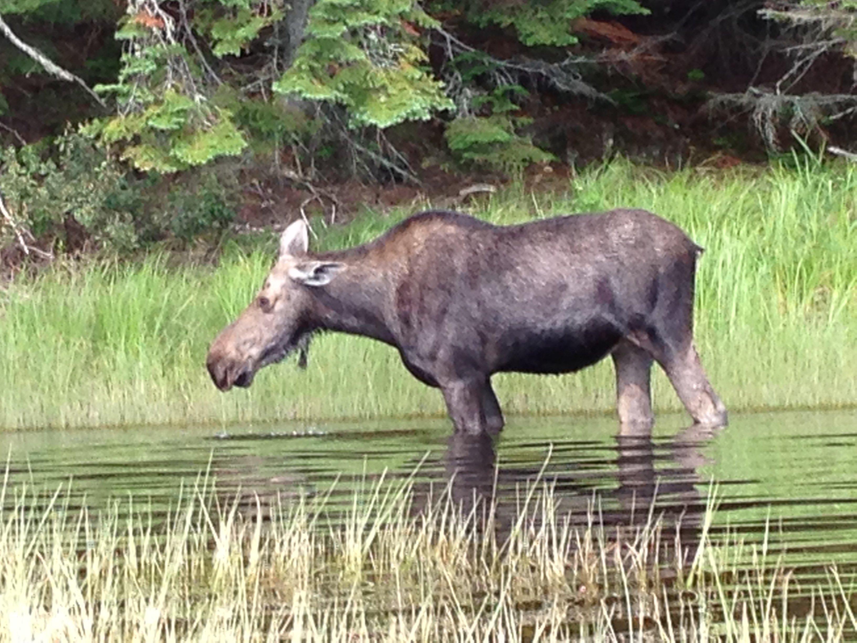 Close moose encounters while kayaking near remote lakes