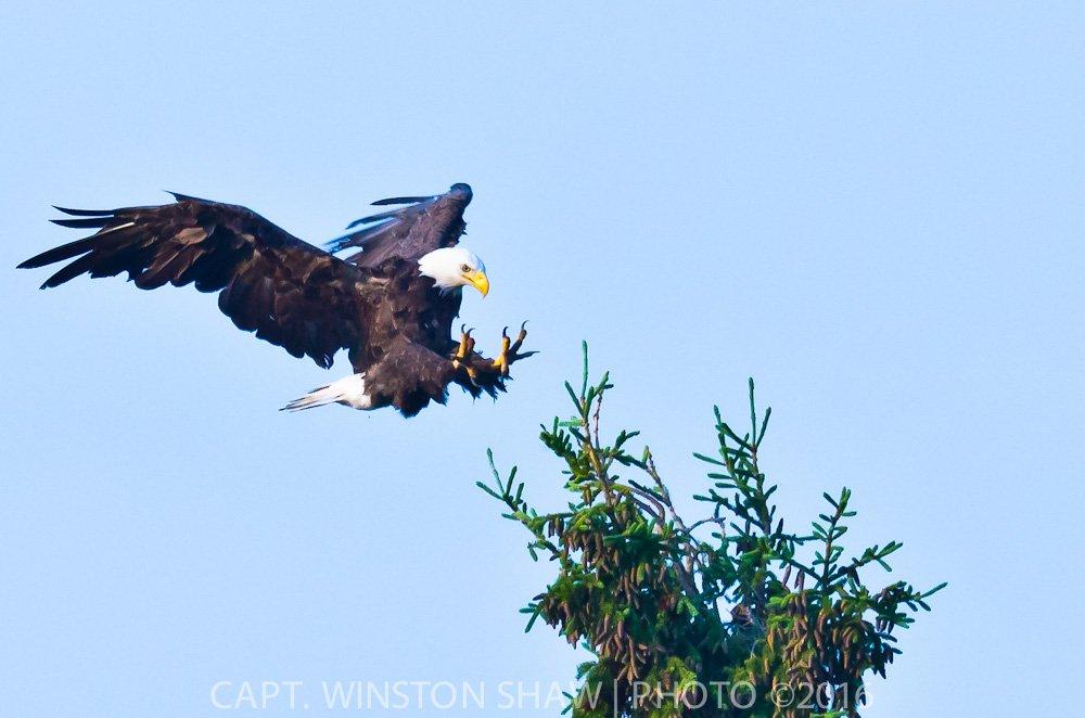 Adult Bald Eagle Landing