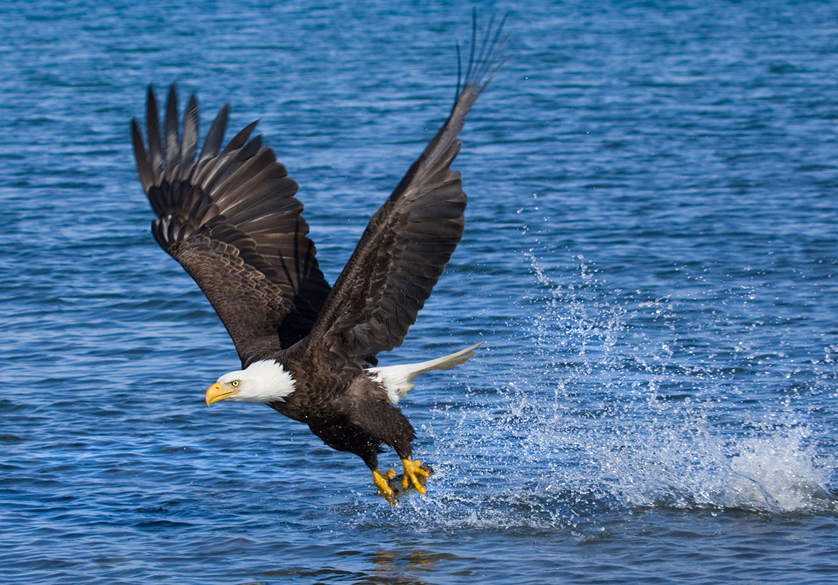 Bald Eagle fishing in Somes Sound