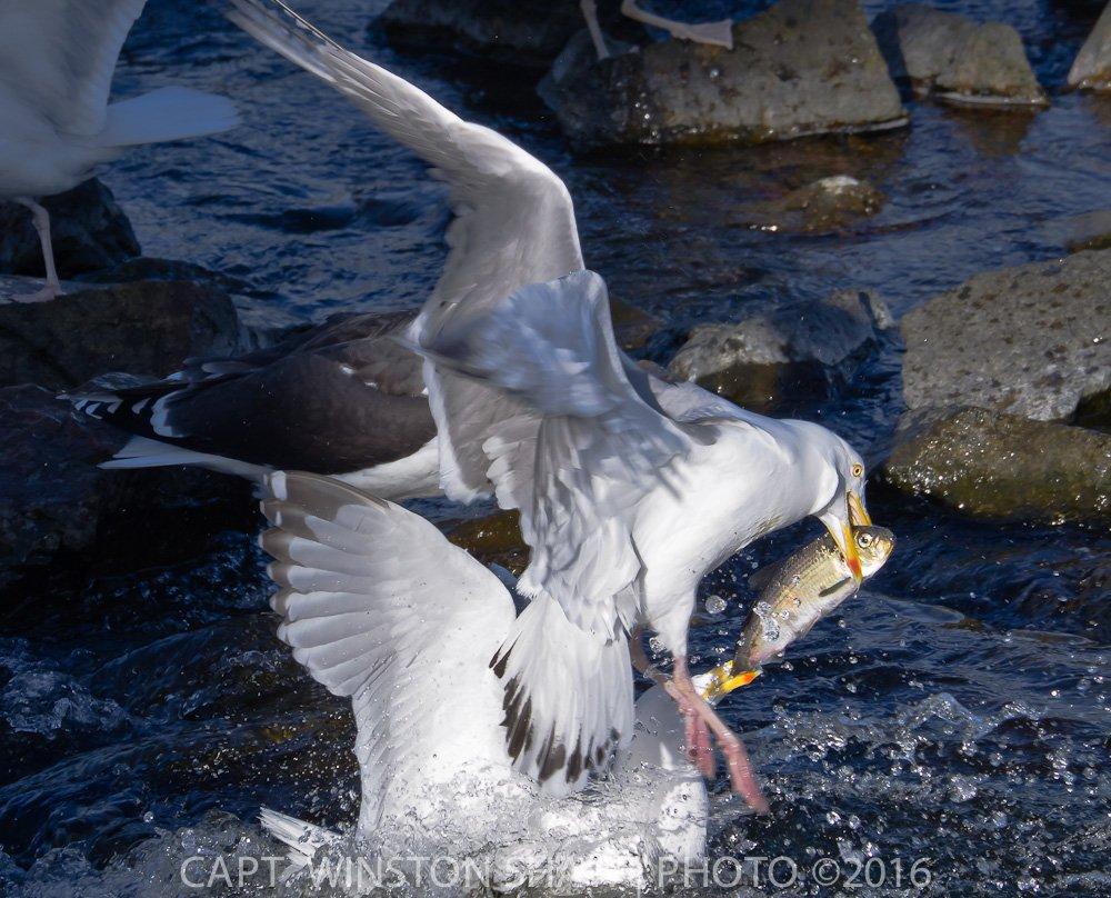 Herring Gull With Herring