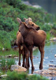 Spring time in Moose Country