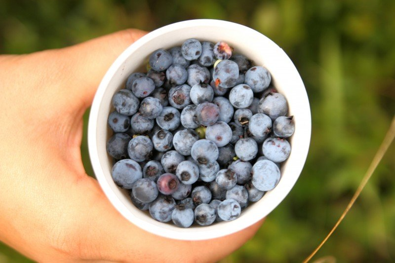 Wild Maine Blueberries from our Hill