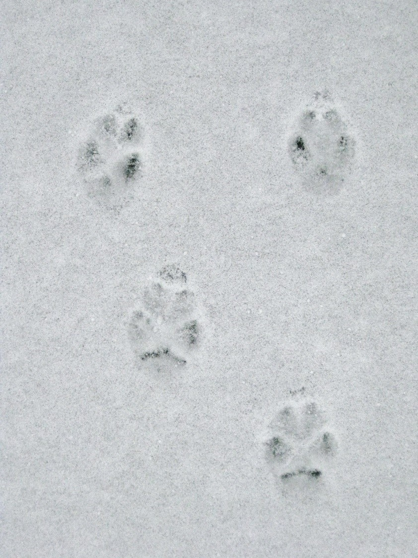 Red fox, hind tracks smaller (above) front tracks larger (below), metacarpal pad often shaped as a chevron or as a flat line (bottom of front track