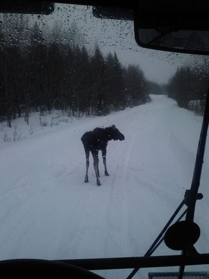 Moose like the easy winter travel on our groomed trails, too!