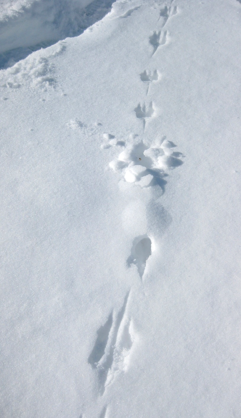 Meadow vole track, you can see where it tried to tunnel into the snow.