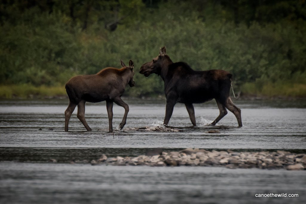 Moose spotted while on an Allagash canoe trip