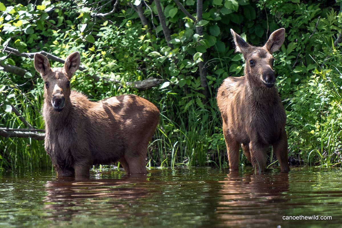 Calf moose spotted on the Allagash River canoe trip