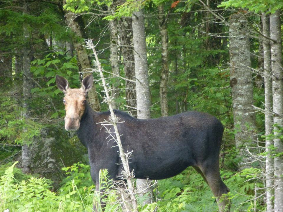 Authentic Maine Moose Safaris/Tours Adventures with Twin Maple Outdoors