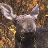Local Resident Moose