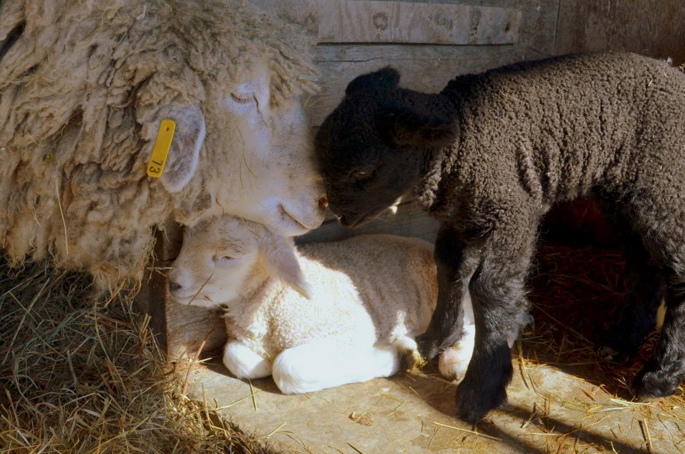 Spring lambs at Wolfe's Neck Farm