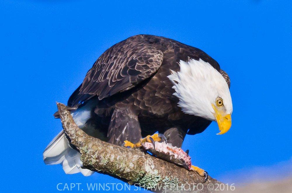 Adult Bald Eagle Feeding