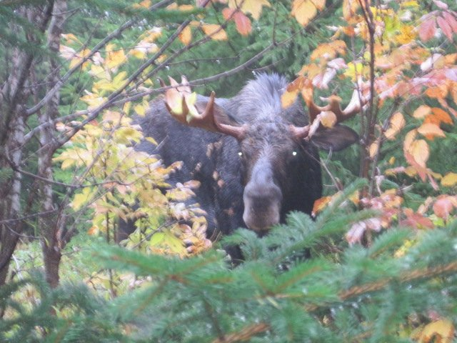 Close encounter with a bull moose.