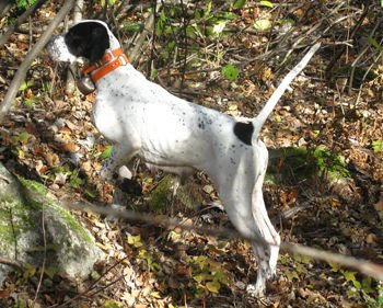 Need a Bird dog training clinic? We can help!