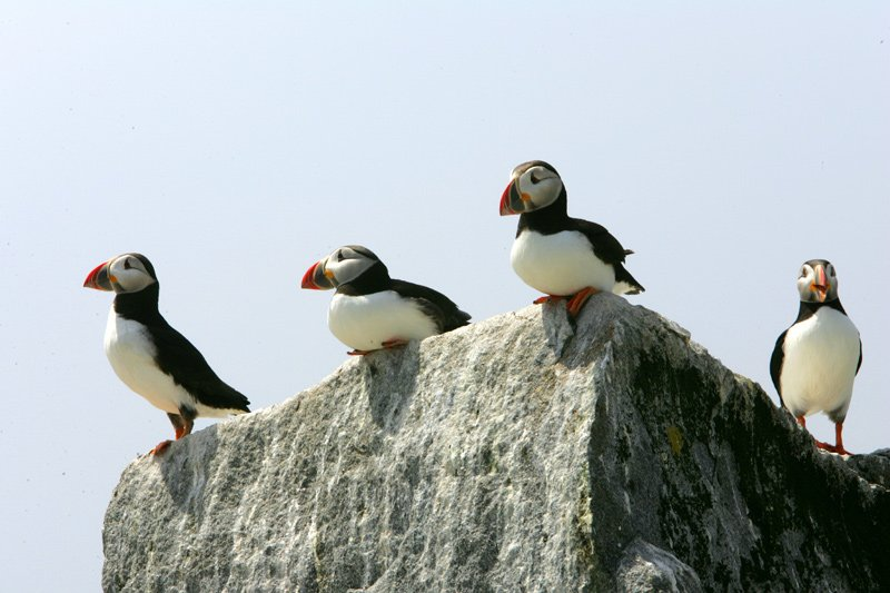 A group of Atlantic Puffins.