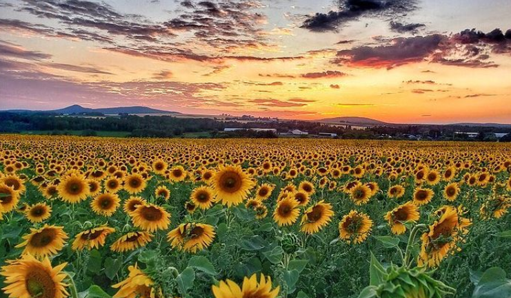 Picture of Sunflowers in Aroostook by Thewaynorth207