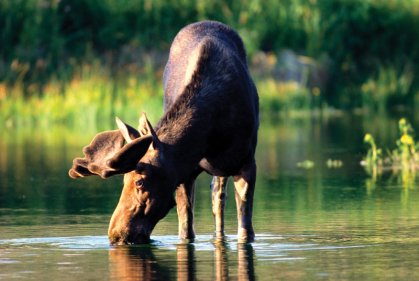 Moose Watching | Maine's Kennebec Valley