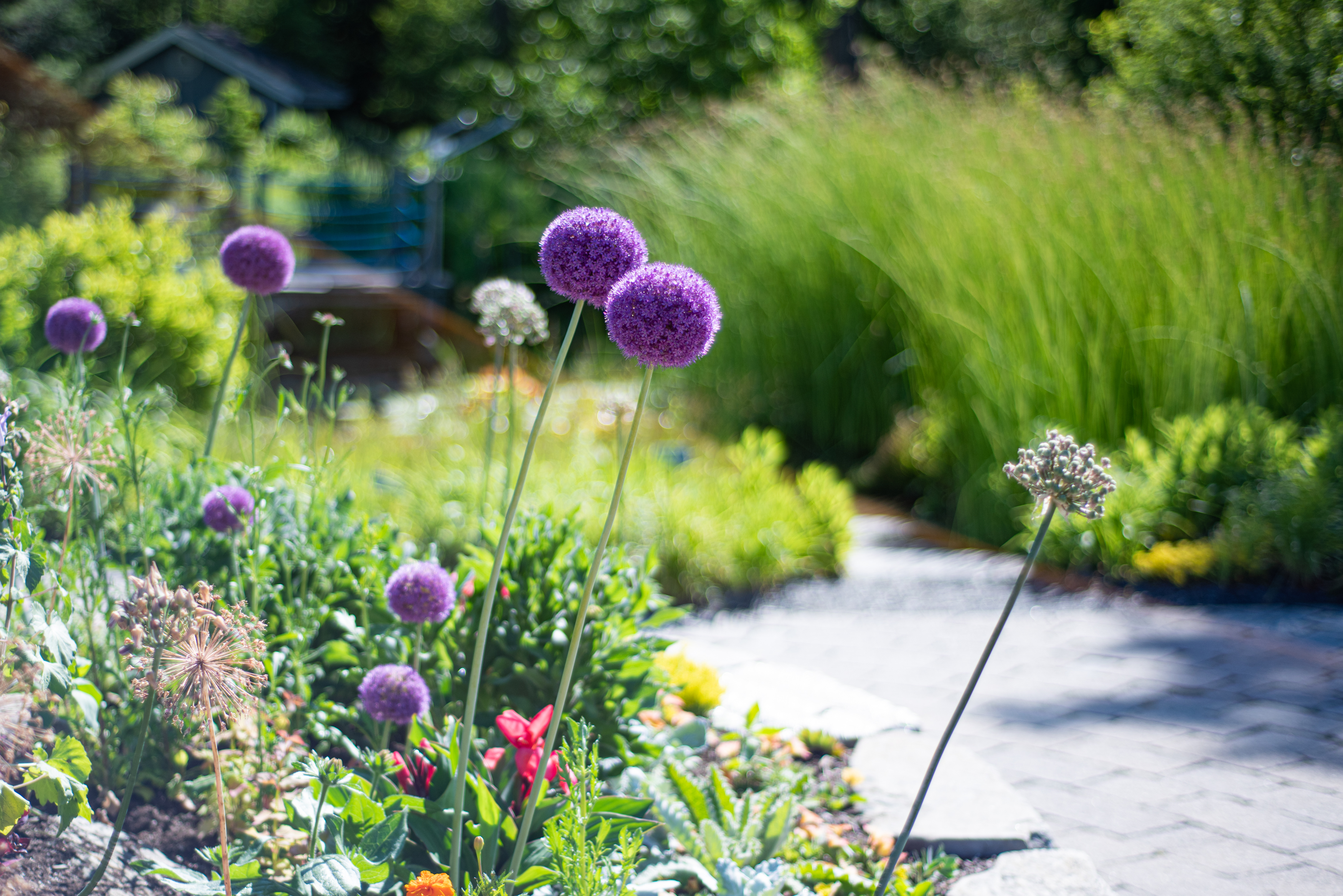 The purple ball-shaped flower of allium, or ornamental onion, in the Bibby and Harold Alfond Children's Garden