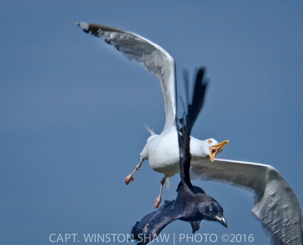 Gull Chasing Crow