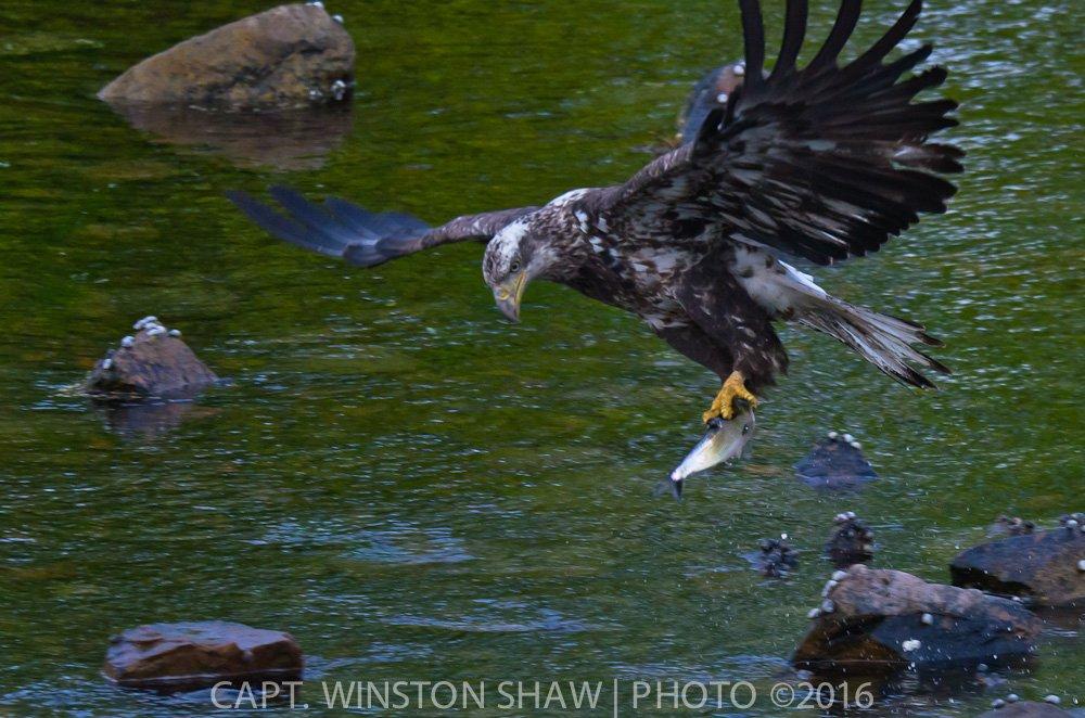 Subadult Bald Eagle With Fish