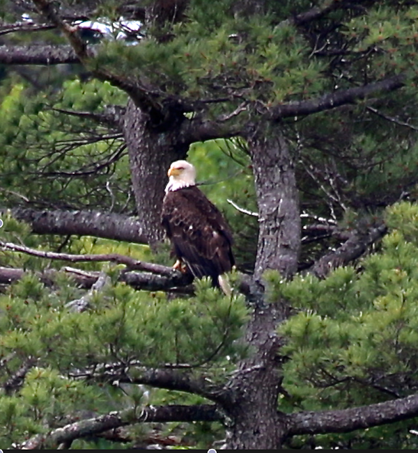 Watch our resident bald eagle