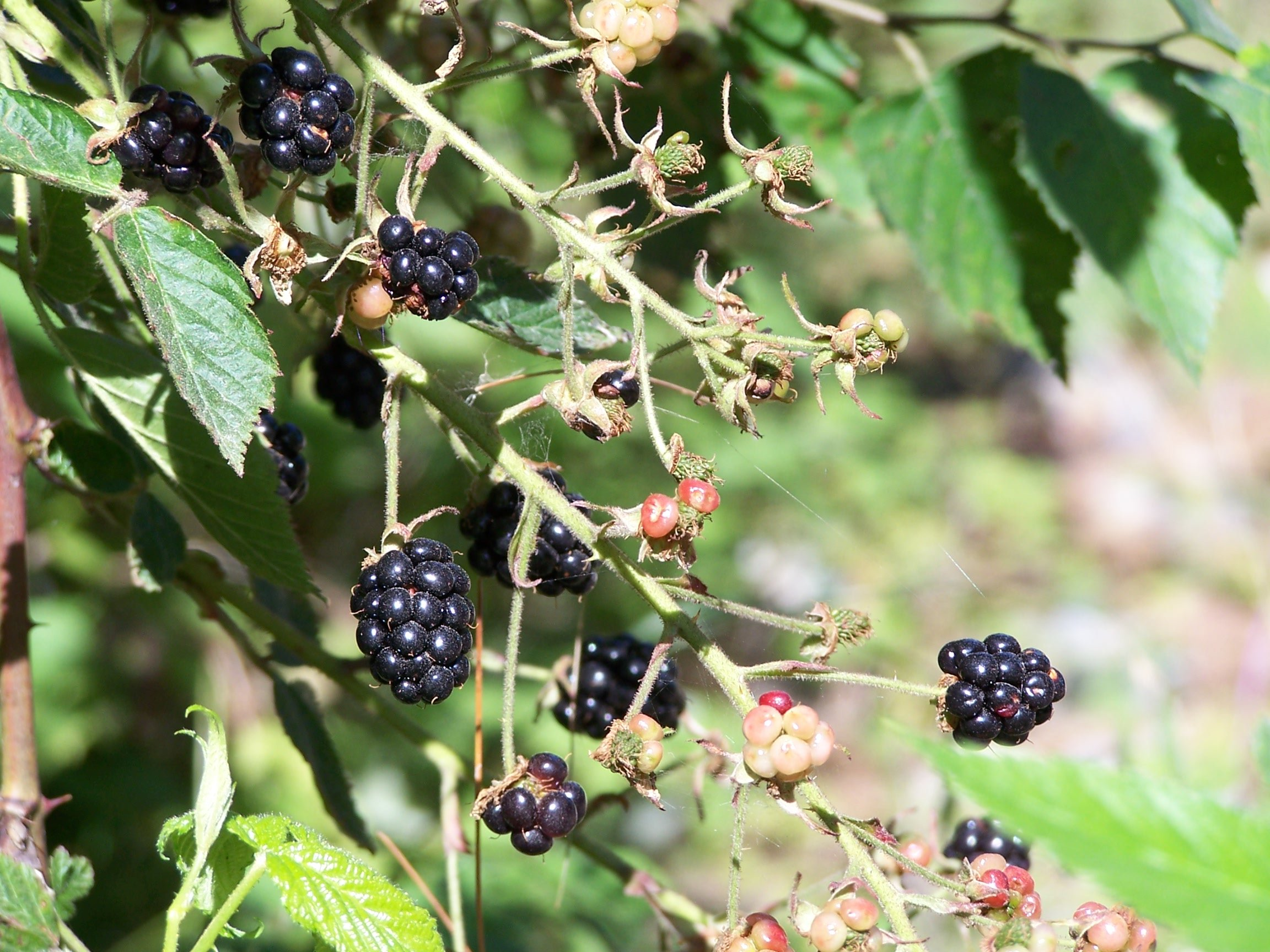 Fresh Berry Picking