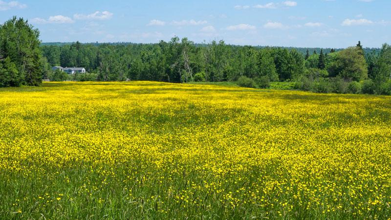 Field of wildflowers in Lamoine