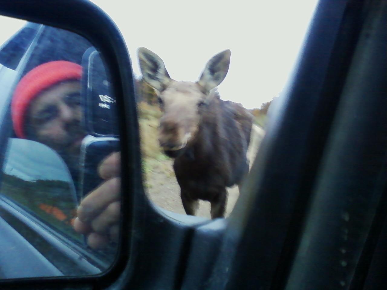 Curious calf moose.