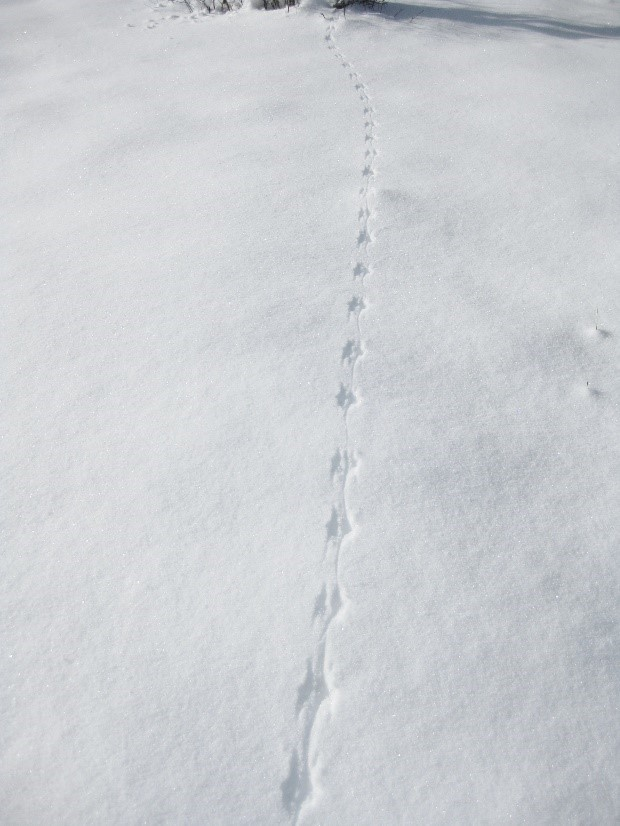 Red squirrel tracks in deep snow