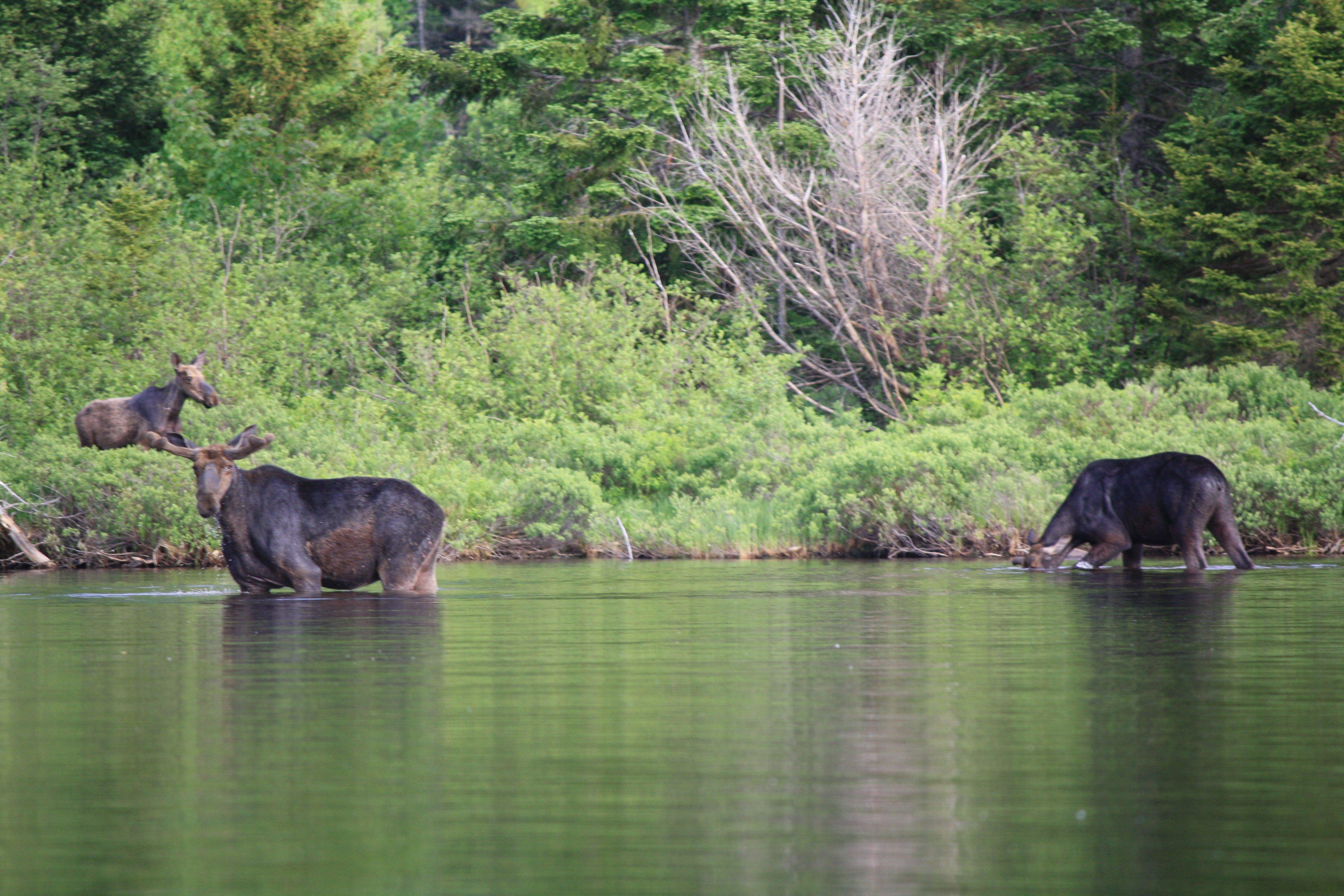 Maine Moose Tour