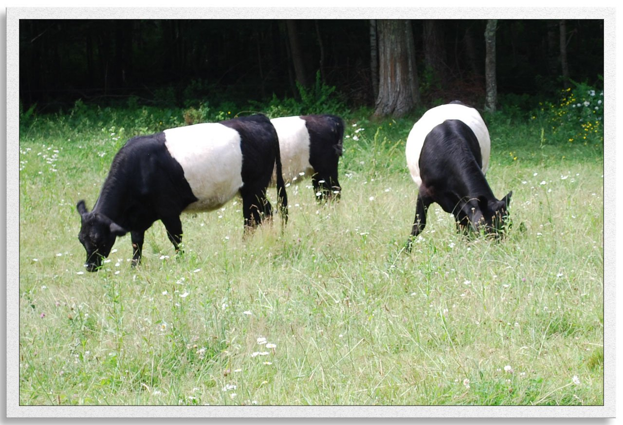 Belted Galloway beef cattle grazing at Savage Oakes Vineyard & Winery, Union, Maine