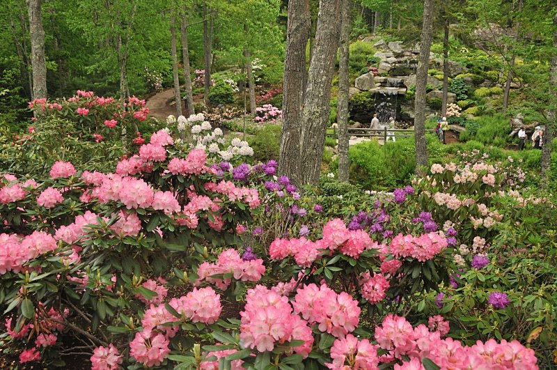 Giles Rhododendron Garden - Early June