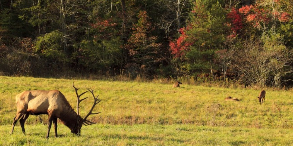 Elk grazing in Cade's Cove – Jill Lang