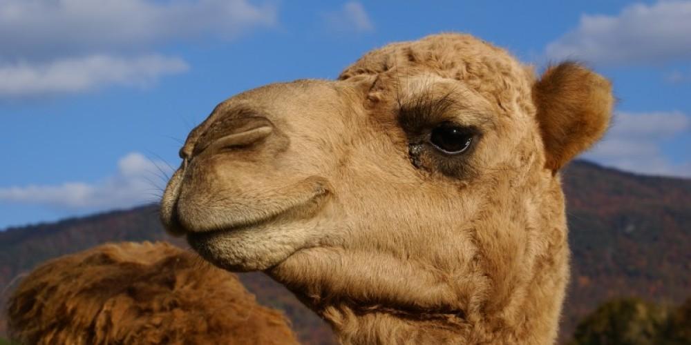 Mel the camel – Carol hawkins