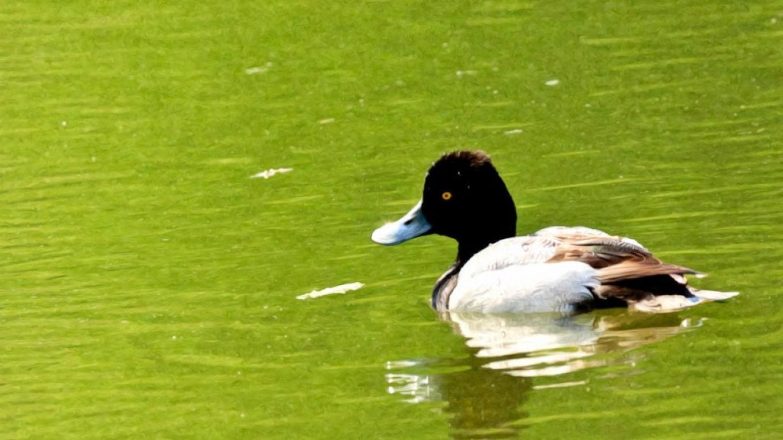 Ring-necked Duck – Hazel Erikson