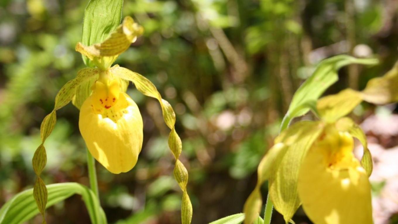 Yellow Lady's Slipper – NPS Photo