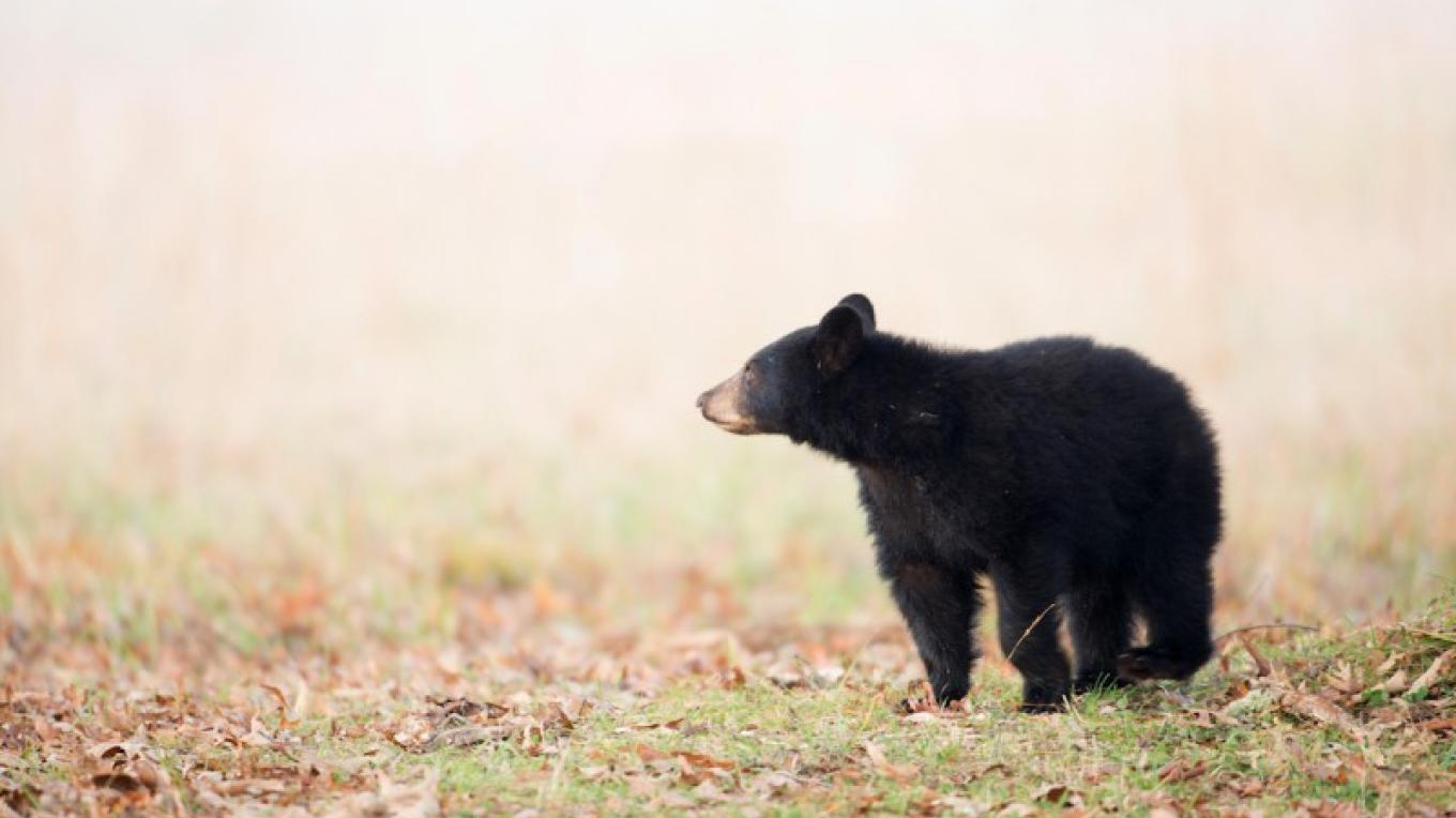 Black bear cub in Great Smoky Mountain National Park – Tony Campbell.