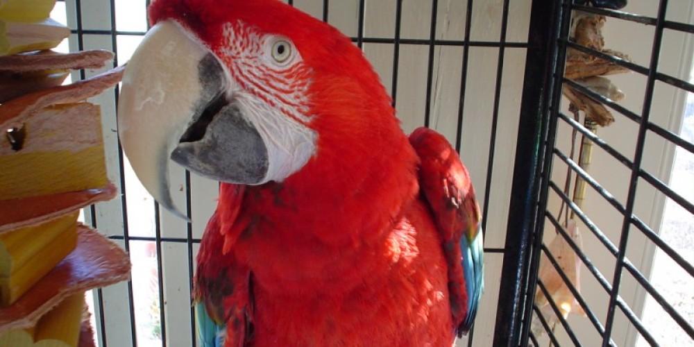 Manuel, the greenwing macaw – Carolk Hawkins