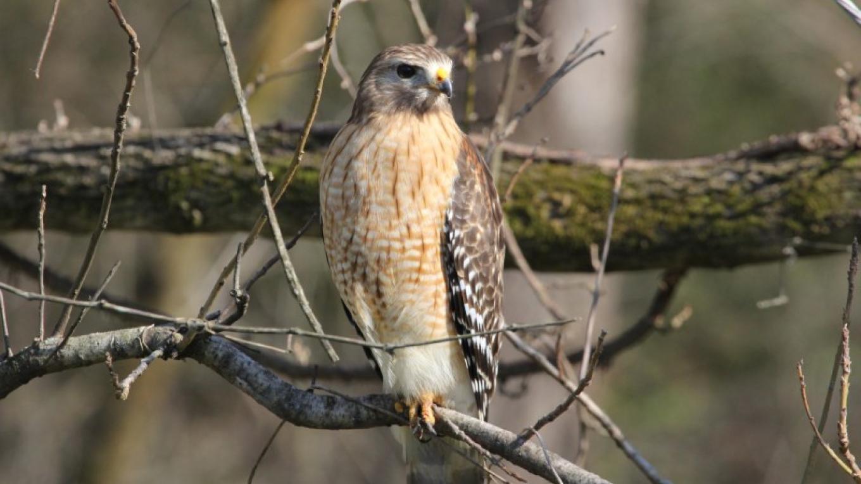 Red-shouldered Hawk at Audubon Acres – Kaye Fiorello