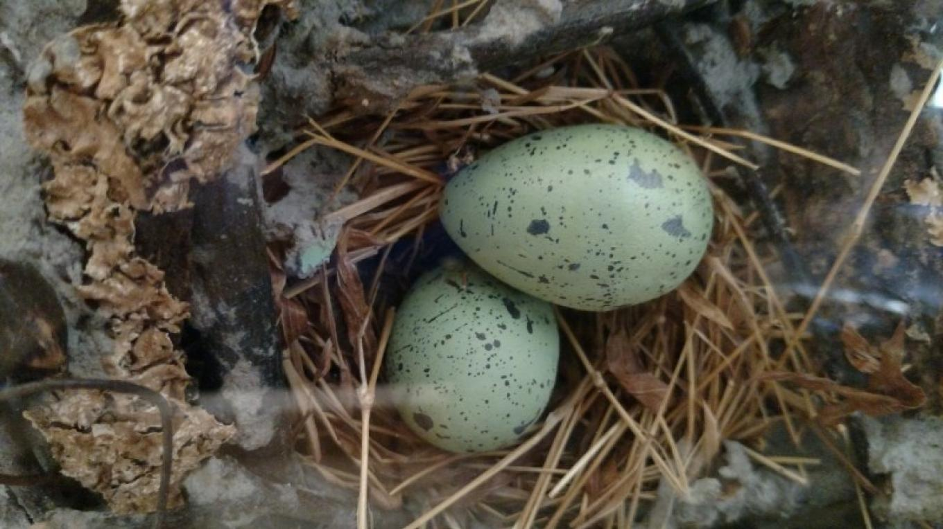 "American Crow Eggs from the C.E. Blevins ""Avian Jewels"" Collection of bird egg replicas at Audubon Acres.  Featuring 1,200 species, the ""Avian Jewls"" are the largest collection of bird egg replicas in the world. – Chattanooga Audubon Society"