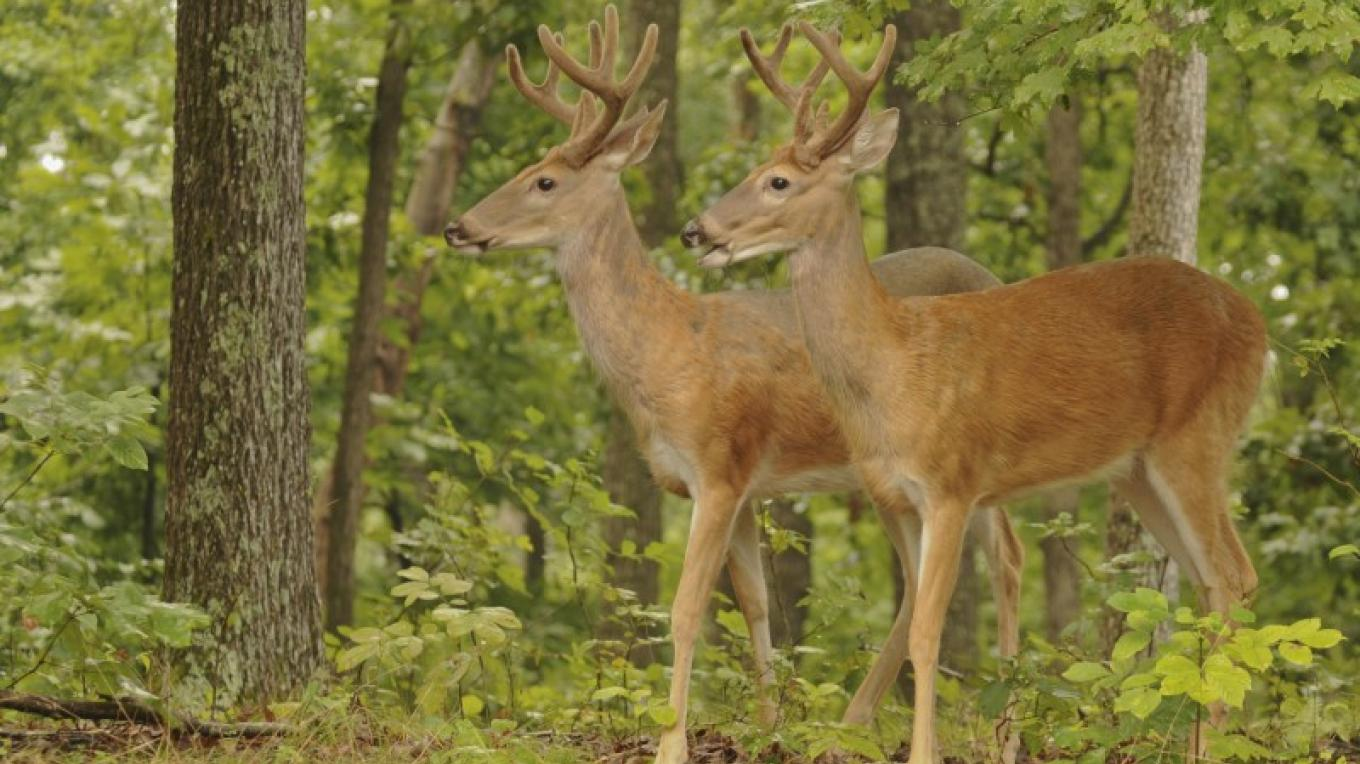 White-tailed deer can be seen frolicking in open fields during the warmer months. – rStainfield/USFWS