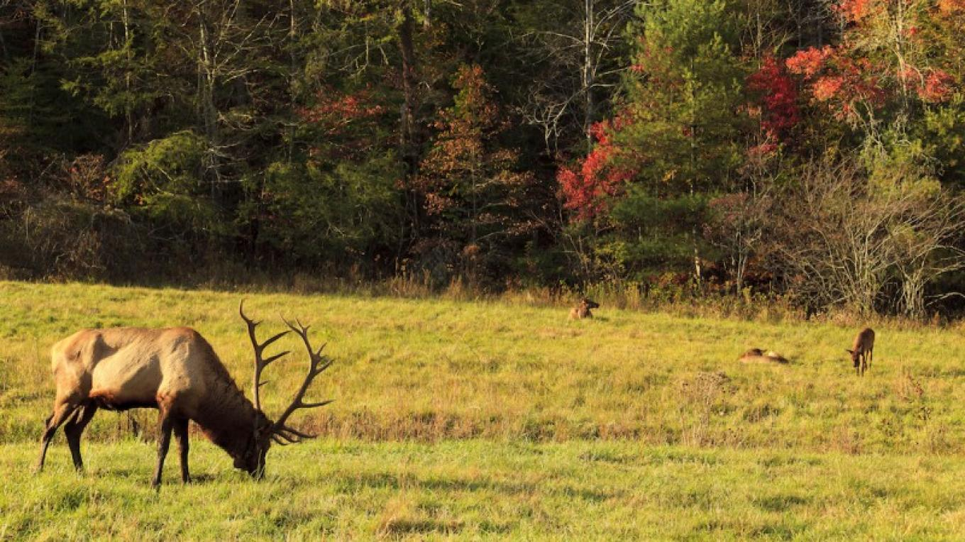 Elk grazing at Cades Cove in Great Smoky Mountain National Park – Jill Lang