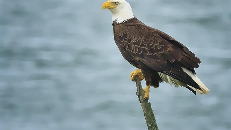 Bald Eagle – Hazel Erikson
