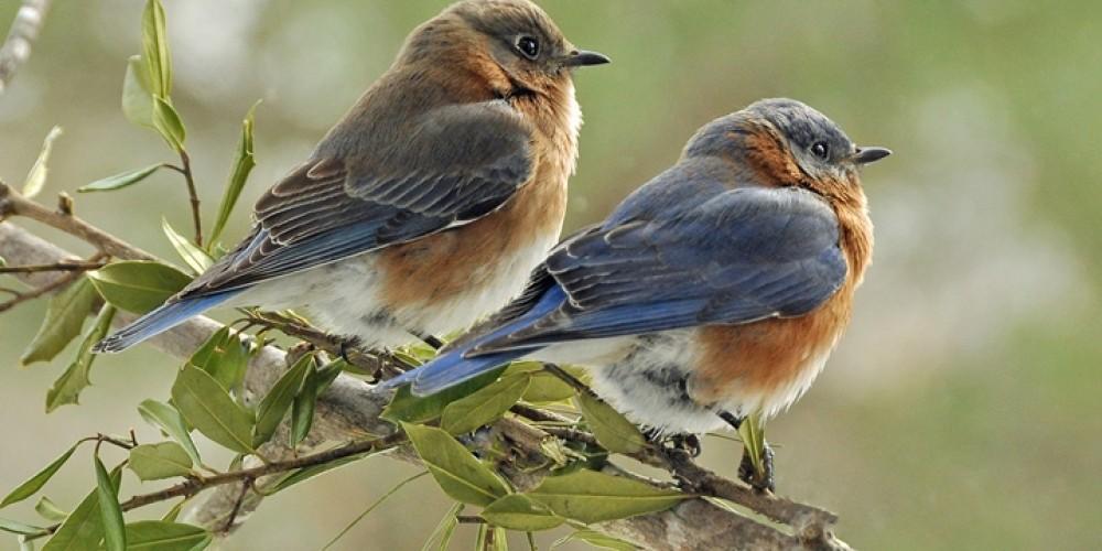 Eastern bluebirds – Jean Owens