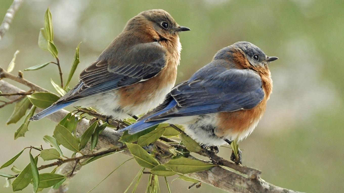 Eastern bluebirds – Jean Owens