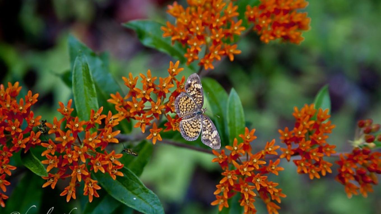 Butterfly on Butterfly Weed – Hazel Erikson